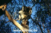 Koalas im Otway Nationalpark