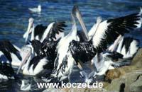 Pelikane brauchen zum Fliegen trockene Federn