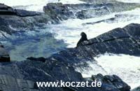 Newzealand Fur Seals am Cape Du Couedic