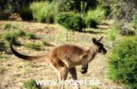 Kangaroo Island Känguruh